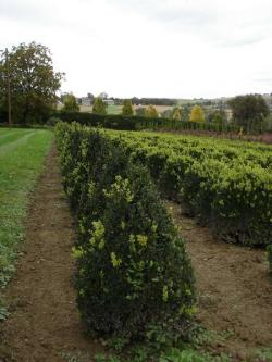 Buxus sempervierens pyramides 100/120, 120/140 with bale