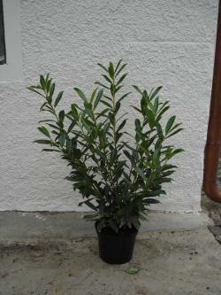 Prunus laurocerasus caucasica 80/100 with bale, container 12 litres