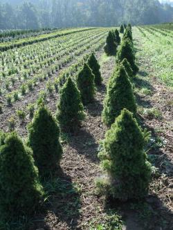 Picea glauca conica 50/60, 60/80 with bale, container 10/12 litres