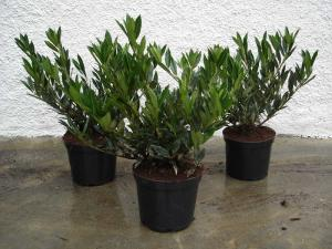Prunus laurocerasus ottolyken 40/50 with bale, container 7,5 litres