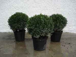 Buxus sempervierens bowl formed up 30/40, 40/50 container 10 litres