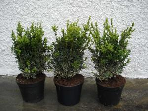 Buxus sempervierens hedge 30/40, 40/50 with bale, container 7,5 litres /10 litres