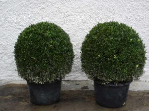 Buxus sempervierens Kugeln, 60/80 with bale, container 30 litres